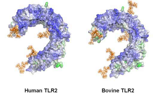 Structure of the bovine and human TLR2 extra-cellular domain
