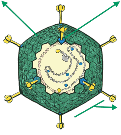 Adenovirus particle diagram