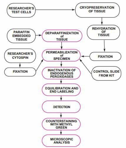 Immunohistochemistry Protocol: Anti-BrdU Antibodies