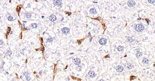 Liver tissue stained with the F4/80 antibody MCA497