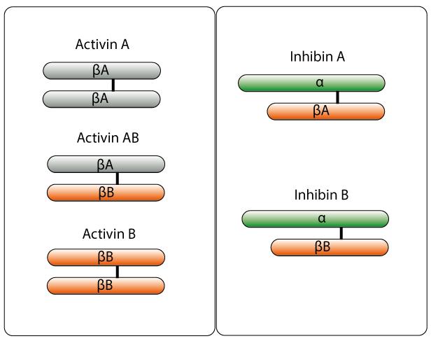 アクチビン - Activin - Japanes...