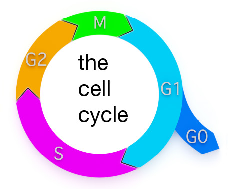 Schematic representation of the cell cycle. Ki-67 is expressed during G1, S, G2 and M phases.