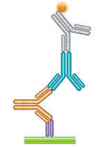 Schematic image of PK bridging ELISA (IgG4). Anti-idiotypic capture antibody, Fab format (purple), monoclonal antibody drug (gold), detection with anti-idiotypic antibody IgG4 isotype format (blue), and anti-human IgG4 labeled with HRP (gray).