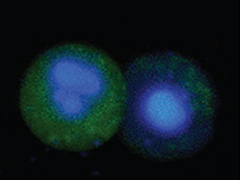 Staining apoptotic cells with FAM FLICA™ Caspase Kit