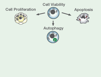 Cell Health - Reagents to determine viability, proliferation, apoptosis and autophagy