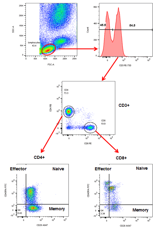Figure 4. Sequential gating to identify specific T subsets. Red cell lysed whole blood was stained with CD3 (MCA463P750), CD4 (MCA1267PB), CD8 (MCA1226PE), CD28 (MCA709A647) and CD45RA (MCA88F) in the presence of propidium iodide. The gating strategy is shown by the red arrows.