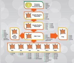 Human helper CD4+ T cells