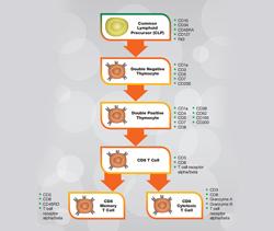 Cytotoxic CD8+ T cells