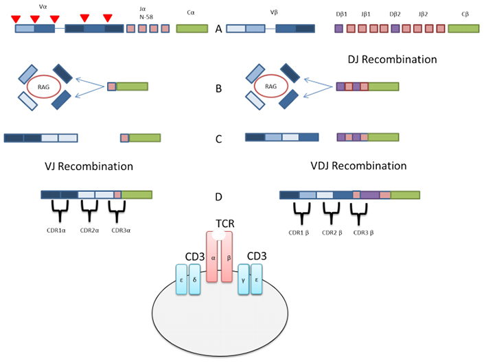 Fig. 2. Simplified overview of VJ & V(D)J recombination of alpha and beta chains of TCRs