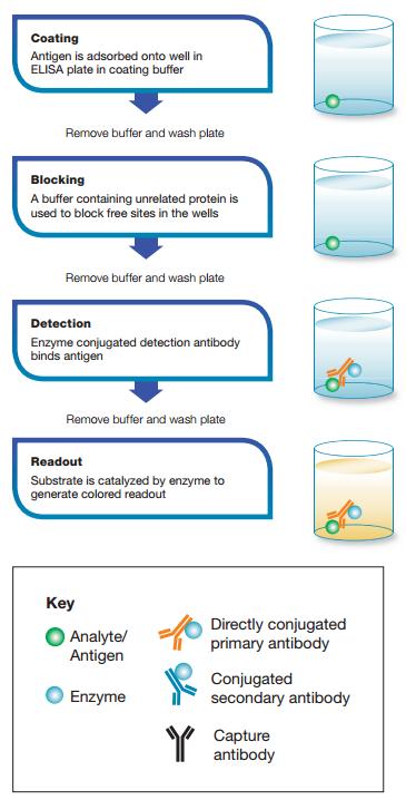 Basic ELISA procedure