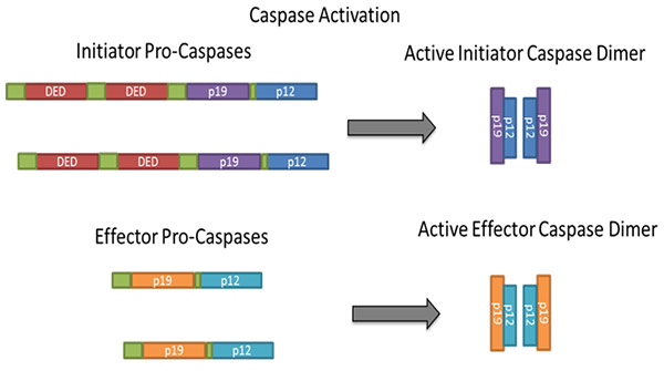 Fig. 2. Dimerization/oligomerization and cleavage of caspases during activation.