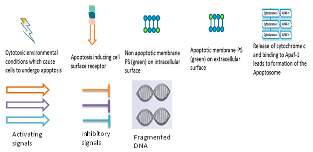Fig. 1. Intrinsic and extrinsic apoptosis in four stages.