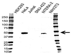 Fig. 2. Western blotting analysis of cell lysates.