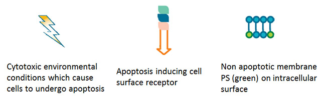 Fig. 1. Induction of apoptosis.