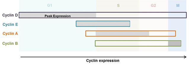 Fig. 2. Expression of cyclins throughout the cell cycle phases
