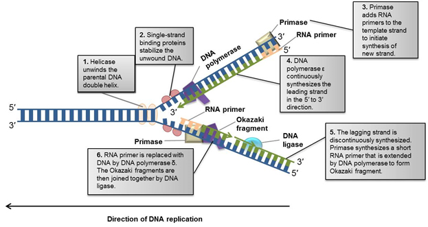 Fig. 3. Overview of DNA replication