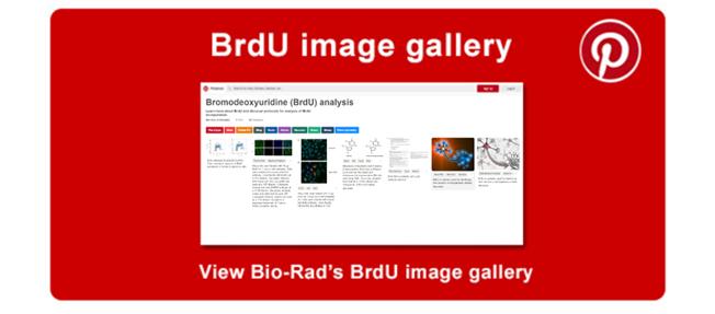 BrdU image gallery