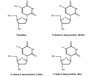 Fig. 1. Chemical structures of thymidine and its analogs: BrdU, CldU, and IdU.
