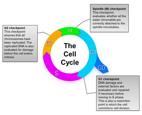 Fig. 1. Overview of the eukaryotic cell cycle.