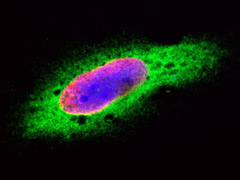 Fig 2. HeLa cells were treated with BrdU for 3 hours and stained with Mouse Anti-BrdU Antibody, clone Bu20a (MCA2483, red).