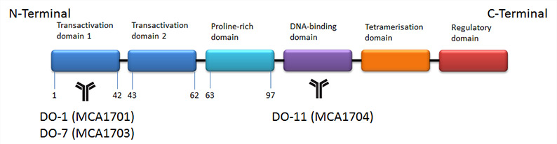 Fig. 1. Structure of p53