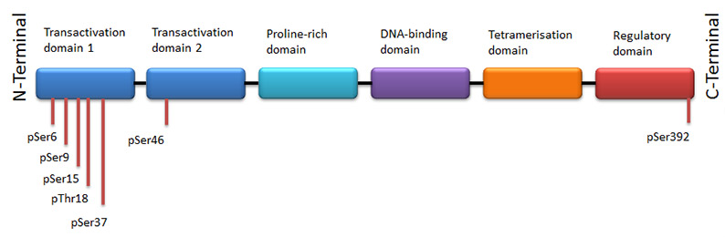 Fig. 3. Phosphorylation sites of p53.