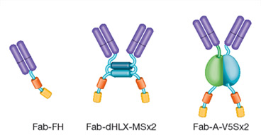Example formats for HuCAL Fab antibodies