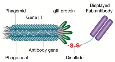Phage particle displaying Fab antibody