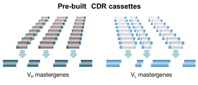 HuCAL PLATINUM concept of VH and VL mastergenes with pre-built trinucleotide cassettes