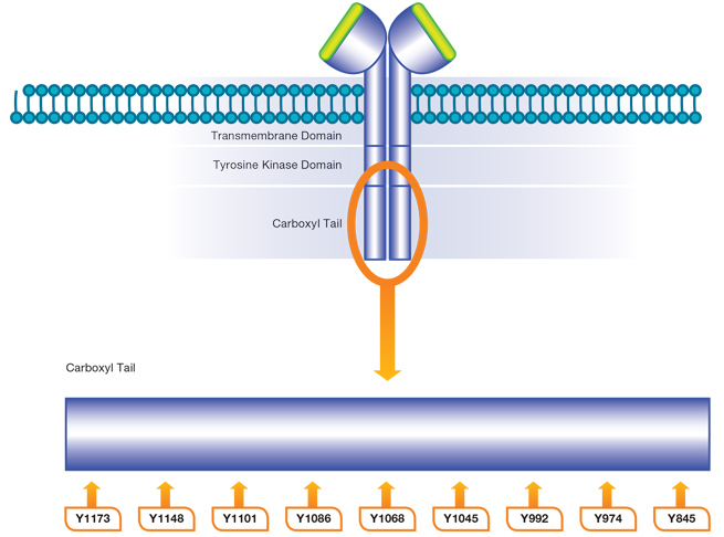 Fig. 2. Phosphorylation of EGF R