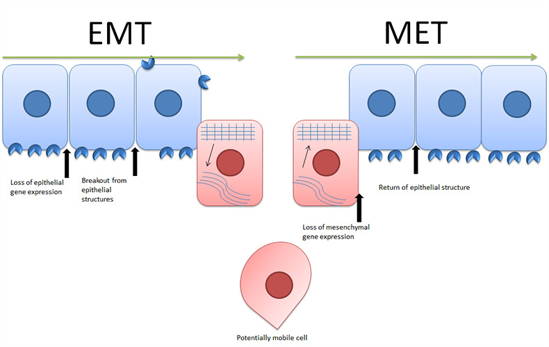 Fig. 1. Epithelial to mesenchymal transition and mesenchymal to epithelial transition.