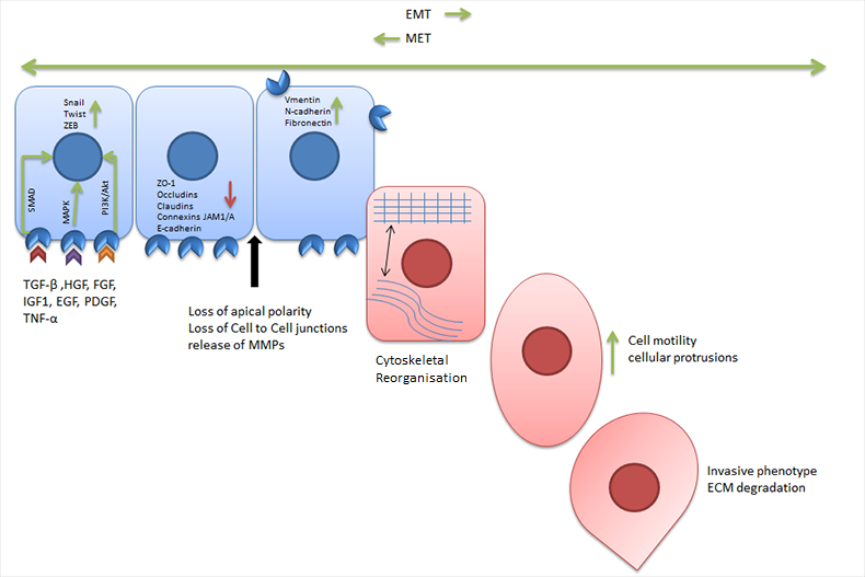 Fig. 2. Overview of epithelial to mesenchymal transition.