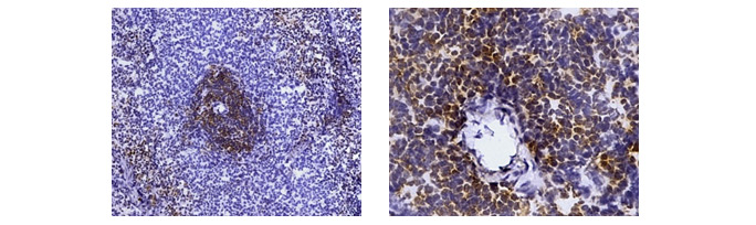Fig. 2. Immunohistochemistry analysis of rat marker CD4