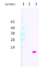 Fig. 2. Western blot for detection of recombinant ovine CXCL8