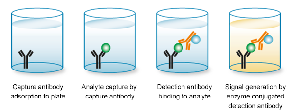 Fig. 1. Typical sandwich ELISA set-up using matched antibody pairs.