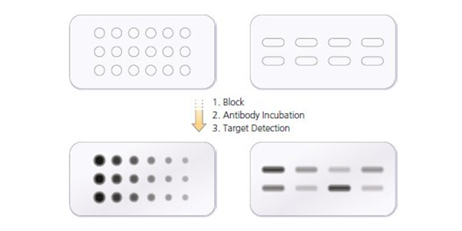 Fig. 1. A dot blot showing titration of primary antibody, secondary antibody and lysate concentration.