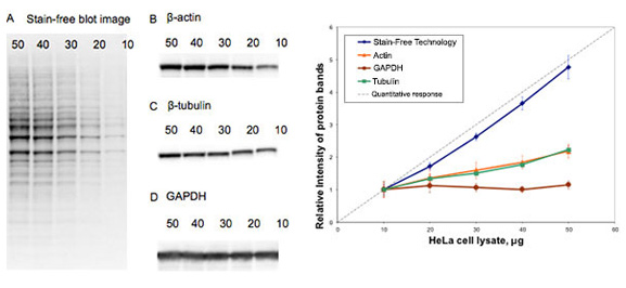 Fig. 3. Comparison of total protein normalization using Bio-Rad stain free and normalization using some common house-keeping proteins.