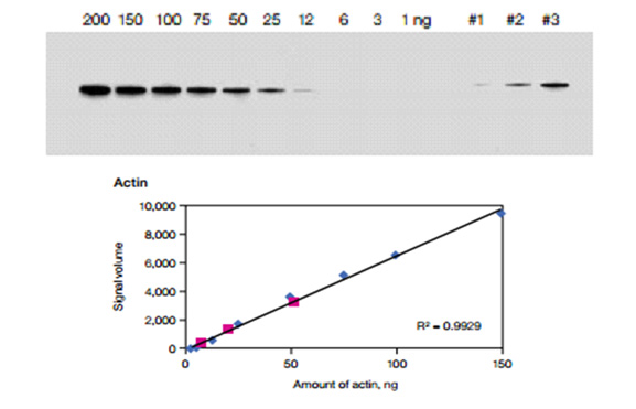Fig. 4.  Chemiluminescent blot of dilution series of purified bovine actin and three unknown amounts of actin. The back ground adjusted signal volume of each band in the dilution series was plotted against amount of protein to generate a standard curve. A linear fit to the data points was calculated and the corresponding R2 value for actin is shown. The high R2 value indicates a strong linear relationship between signal volume and amount of protein over a wide dynamic range.