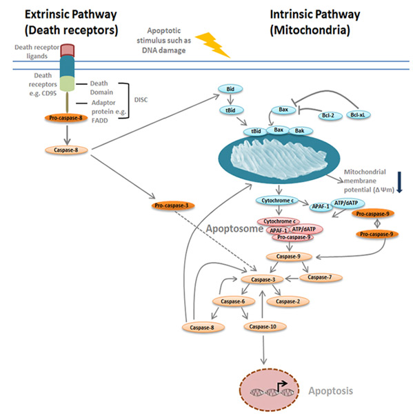 Fig. 4. Overview of the extrinsic and intrinsic apoptosis pathways