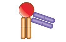 Anti-Ranibizumab-VEGF Complex Specific Antibody