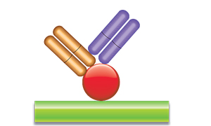Schematic image of PK antigen capture ELISA with Type 3 antibody.
