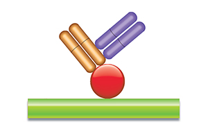 Schematic image of PK antigen capture ELISA with Type 2 antibody