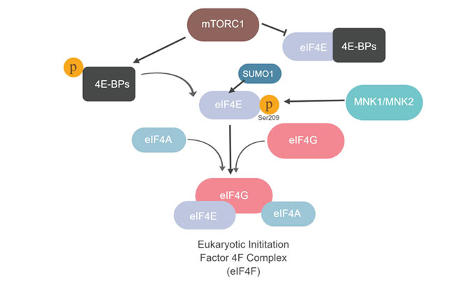 Fig. 1. Mammalian target of rapamycin (mTOR) complex 1 (mTORC1) phosphorylates 4E-BP proteins and stimulates translation through formation of eIF4F complex.