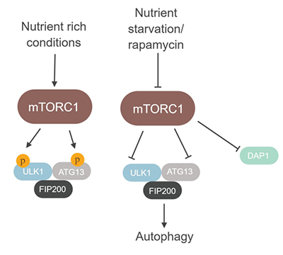 The role of the mTORC1 complex in the regulation of autophagy.