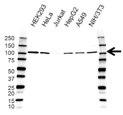 Western blot analysis of whole cell lysates probed with FCP1 antibody followed by detection with HRP conjugated Goat Anti-Rabbit IgG Antibody (1/10,000, STAR208P) and visualized on the ChemiDoc MP with 20 second exposure. Arrow points to FCP1 (molecular weight 104 kDa).