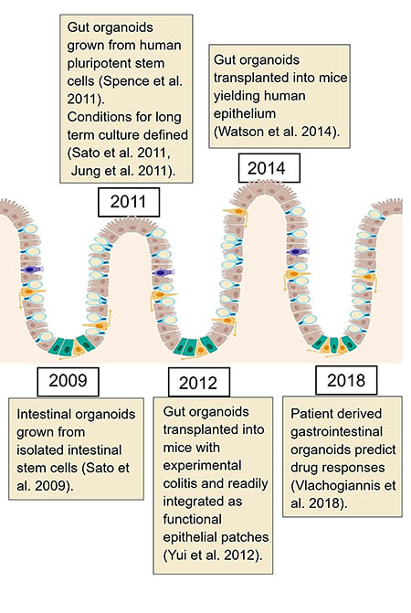 Milestones in gut organoids
