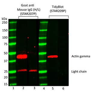 Fig. 1. Comparison of actin gamma detection in mouse thymus lysate using Goat Anti-Mouse IgG (H/L) or TidyBlot Reagent as secondary detection reagents.