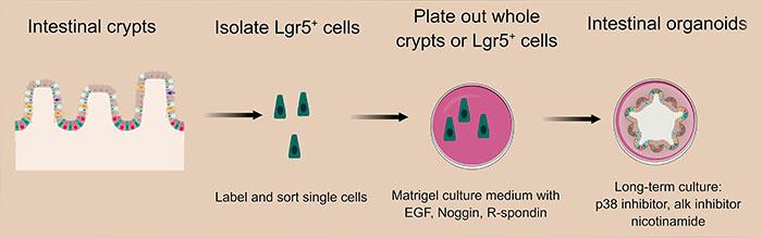 Culturing gut organoids