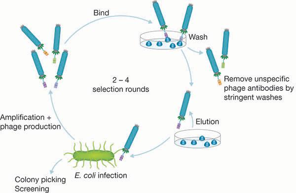Fig. 1. Principles of Phage Display Selection.