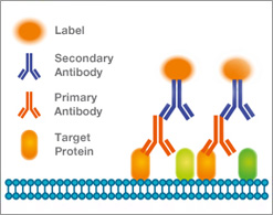 Detection of a primary antibody